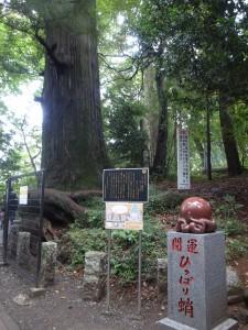 たこの口の形で有名「たこ杉」